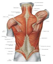 Lower Back Muscles Diagram Human Anatomy Diagram In 2019