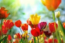 tulip flowers hd free stock photos