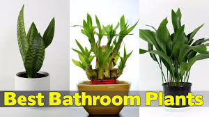 16 Best Plants That Thrive In Your Bathroom - YouTube