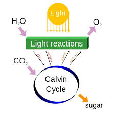 cellular respiration and photosynthesis photo pic