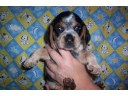 blue tick beagle pups ad posted on 10 5 2008 ad is expired