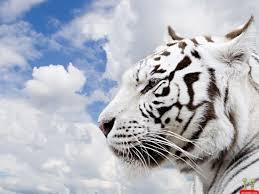 siberian tiger wallpaper desktop. Exellent Desktop Wallpapers For U003e Siberian Tiger Wallpaper Desktop And T