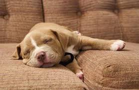 cute pitbull puppies wallpaper. Wonderful Cute Cute Pitbull Puppies Wallpaper 500x324 For E