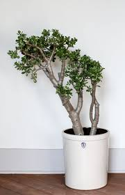 native to south america jade is a low maintenance indoor plant a succulent that retains water in its round fleshy leaves they thrive on neglect