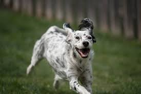 English Setter Weight Chart English Setter Dog Breed Information Pictures
