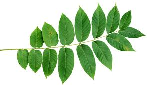 Use Tree Parts To Identify A TreeFruit Tree Leaf Identification