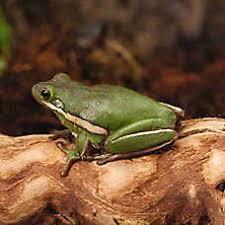 petsmart reptiles for sale. Fine Petsmart Green Tree Frog On Petsmart Reptiles For Sale E