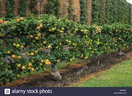 How To Grow Cordon Apple And Pear Trees  Garden Furniture LandFruit Tree Cordons