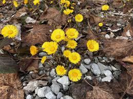 Podbiał Pospolity Wiosna Żółty - Darmowe zdjęcie na Pixabay