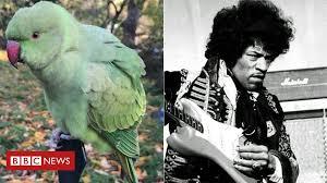<b>Jimi Hendrix</b> cleared of blame for UK parakeet release - BBC News