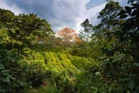 Cafe monteverde is a sustainability leader that uses initiatives and environmental practices in developing. Visiting A Coffee Plantation In Costa Rica Go Visit Costa Rica
