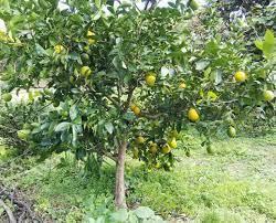 レモン の 木 剪定