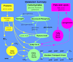 Carbohydrate Metabolism Chart Overview Metabolism