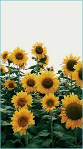 Sunflowers Landscape Wallpapers First ...