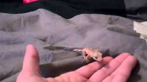 full size of reptile cage classy baby eyelash crested gecko and nano exo terra glamour
