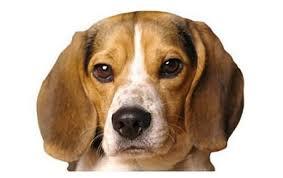 Pocket Beagle Dog Breed Information Pictures
