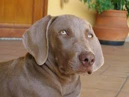 close up head and upper body shot a weimaraner is laying on across a brick