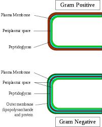 Gram Positive Bacteria Wikipedia