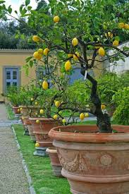 tuscan garden potted trees