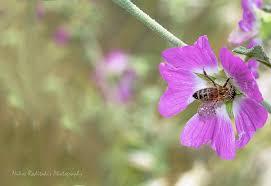 Lavatera bryoniifolia Malvaceae | A wild plant of Cretan flo… | Flickr