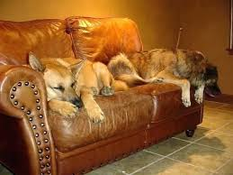 how to fix scratches on leather couch from dog post dog scratched leather couch dogs