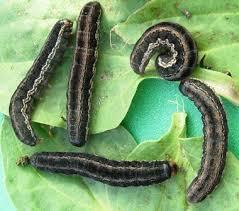 Black Cutworm Maui Bugpedia