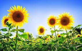 sunflower desktop background