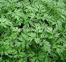 artemisia annua. hoo products - home garden plant 100 seeds artemisia annua one-year mugwort