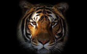 3d Tiger Wallpaper For Mobile Download ...
