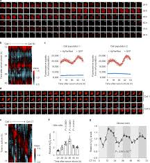 Health Pei Organizational Chart Diurnal Oscillations Of Endogenous H 2 O 2 Sustained By P66