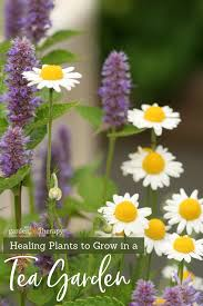 chamomile flowers with copy healing plants to grow in a tea garden