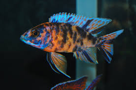 Small Picture Aulonocara SP Hybrid OB Peacock Cichlid ob peacock cichlid
