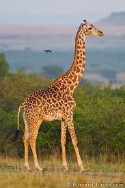 Image of: Pictures Picher Of Graffe Giraffe Pinterest Picher Of Graffe Giraffe Giraffes Pinterest Giraffe