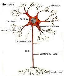 Sinapsis neuronal: estructura, tipos y cómo funciona