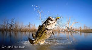 largemouth bass jumping. Plain Largemouth Big Bass  Beebower Productions On Largemouth Jumping S