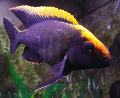 Small Picture The 25 best Cichlids ideas on Pinterest African cichlids