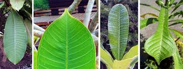 the leaf of p rubra l has a pointed tip lc p obtusa rc has rounded leaf tips rc p pudica has spoon shaped leaves r waxy