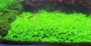 montecarlo on 5 x 3 mat easy foreground carpet aquarium plant