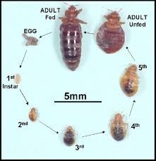 Size Of Bed Bugs Chart Bedbugs Pest Control Health Vic