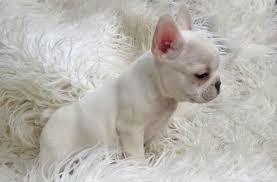 french bulldog breeders los angeles ca