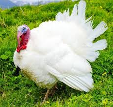 Broad Breasted White Turkey
