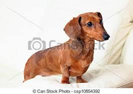dachshund dog on sofa csp10854392
