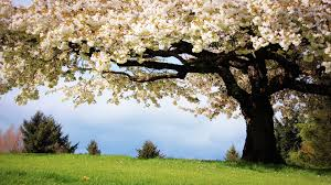 Cherry Blossom Flowers Tree HD ...