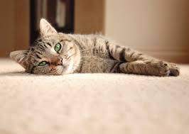 carpet cleaning tips cat lying on carpet