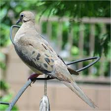 Mourning Dove Age Chart Dove Central