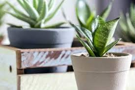 low maintenance houseplants safe for cats uk best easy to grow beautiful indoor plants in homes architectures awesome snake pla