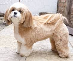 Lhasa Apso Diet Chart What Is The Best Dog Food For A Lhasa Apso Dog Food Guru