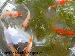 Il giardino delle naiadi: carassius auratus : pesce rosso per gli