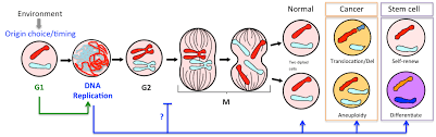 Dna Replication Definition Dna Replication Genome Instability Cell Identity Igmm