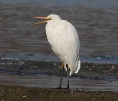 File:Ardea alba alba (opened beak).jpg - Wikimedia Commons